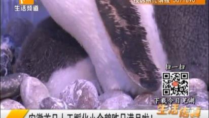 ag电子游戏哪个容易赢首只人工孵化小企鹅满月啦