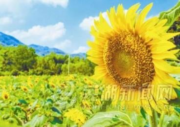 百亩向日葵正在喜迎四方客