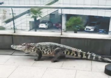 """一只大鳄鱼滨江平台""""闲庭信步""""?"""
