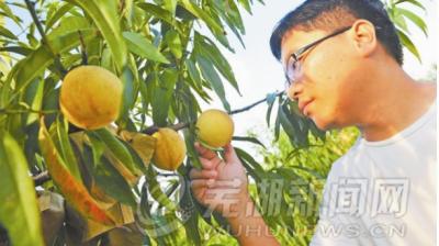 这里有200多亩桃子即将成熟
