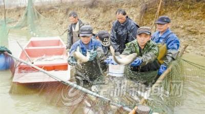 捕年鱼 迎新春