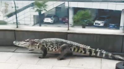 """一只大鱷魚濱江平臺""""閑庭信步""""?"""