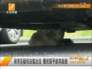 闹市区白狐出没 警民联手助其脱困