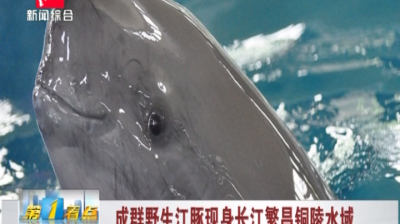 【视频】成群野生江豚现身长江繁昌铜陵水域